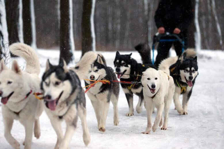 husky_sledding