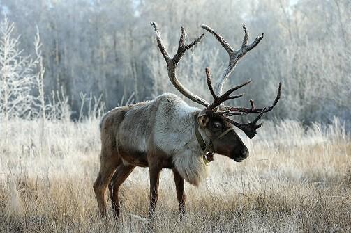 reindeer_sledding